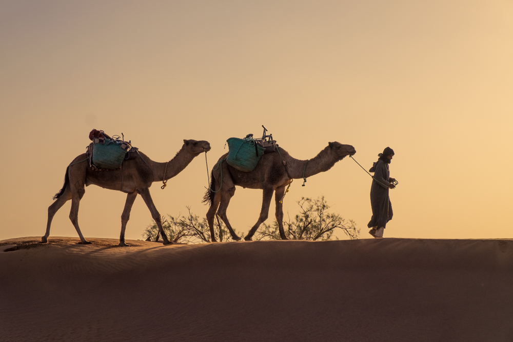 chamelier désert marocain