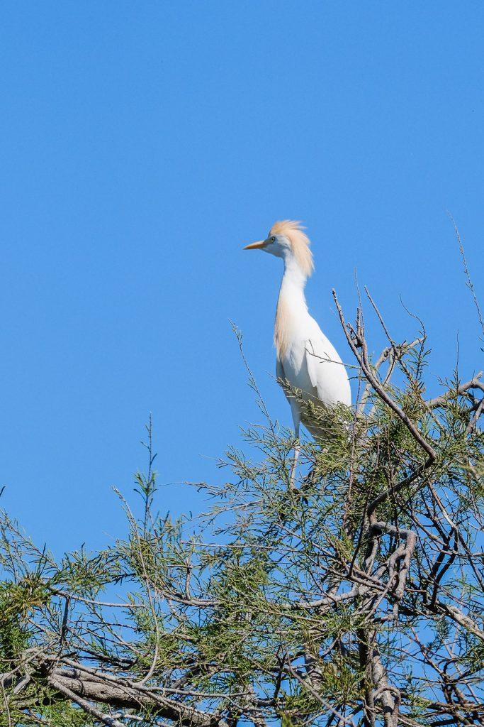 ornithologie Camargue