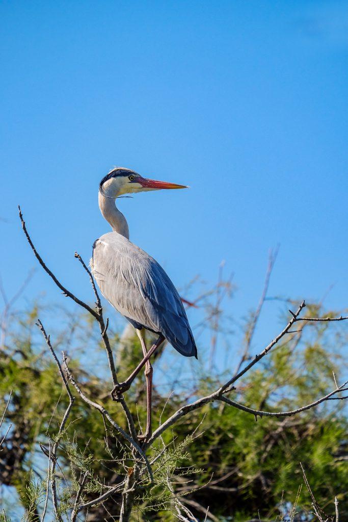 oiseau Camargue