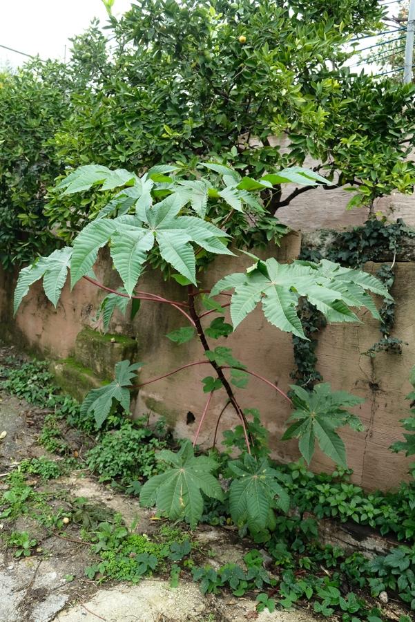 plante ricin