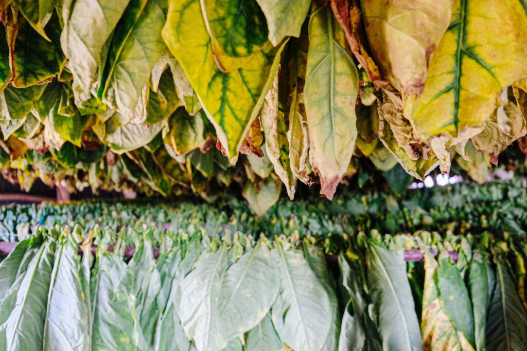 ferme tabac viñales