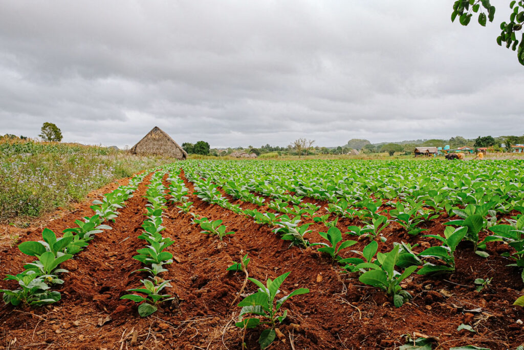 champ de tabac viñales